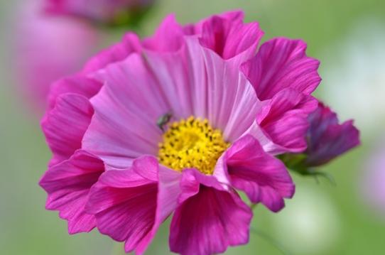 花回廊のコスモス1551.jpg