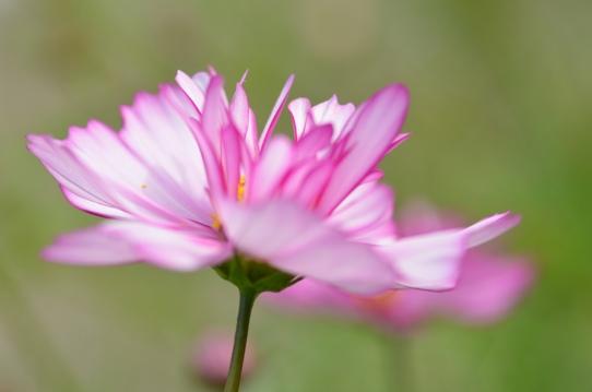 花回廊のコスモス1560.jpg