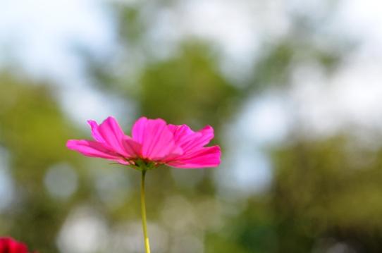 花回廊のコスモス1708.jpg