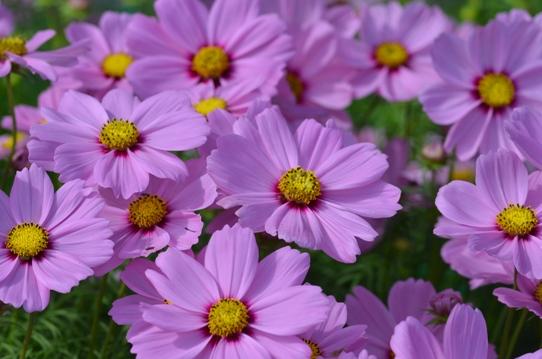 花回廊のコスモス7342.jpg