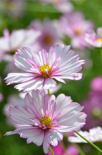 花回廊のコスモス7352.jpg
