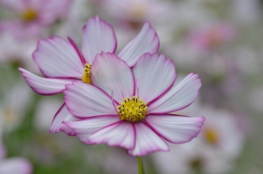 花回廊のコスモス7359.jpg