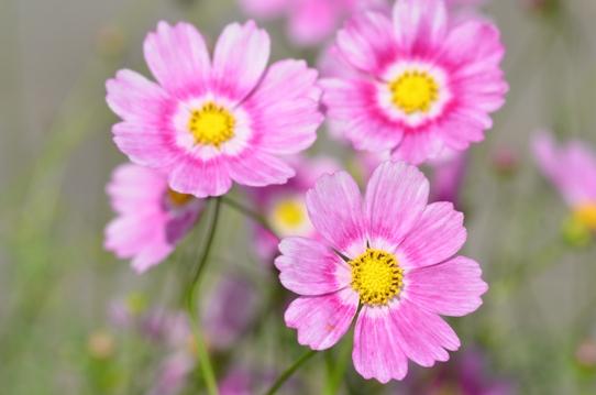 花回廊のコスモス7362.jpg