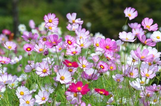 花回廊のコスモス7364.jpg