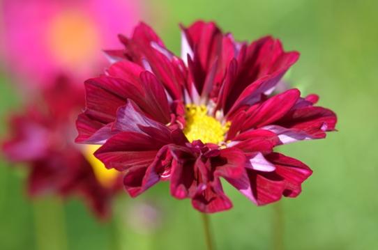 花回廊のコスモス7375.jpg