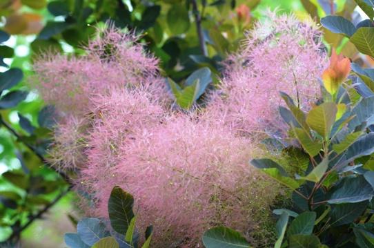 花回廊のスモークツリー2507.jpg