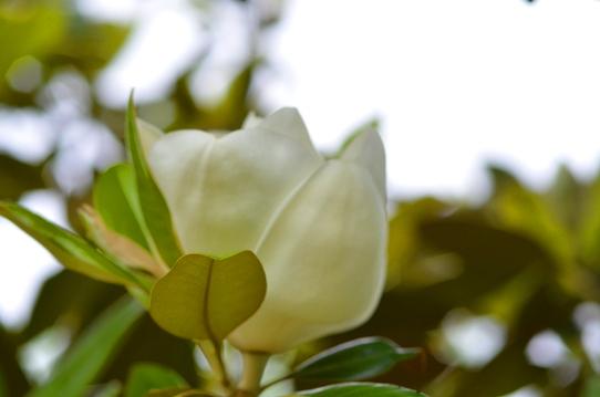 花回廊のタイサンボク2491.jpg
