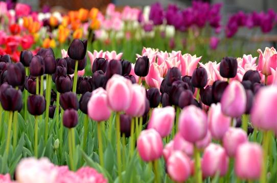 花回廊のチューリップ3832.jpg