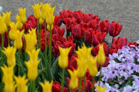 花回廊のチューリップ3853.jpg