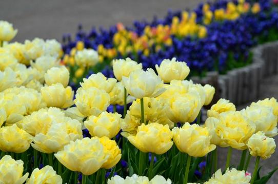 花回廊のチューリップ3863.jpg