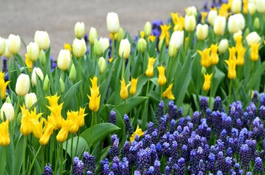 花回廊のチューリップ3869.jpg