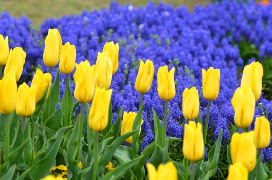 花回廊のチューリップ3908.jpg