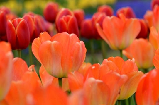 花回廊のチューリップ3924.jpg