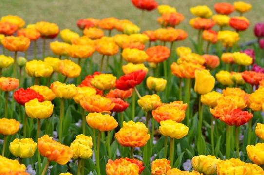 花回廊のチューリップ3934.jpg