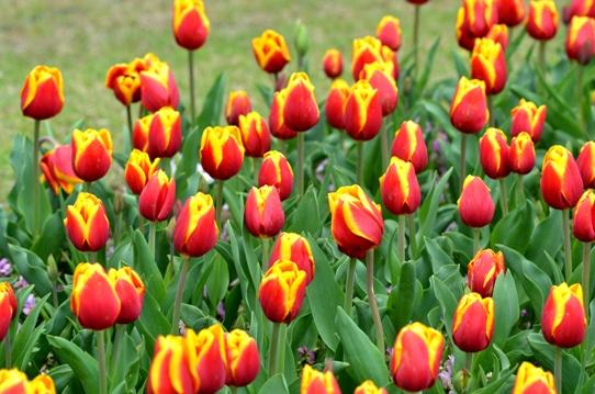 花回廊のチューリップ3966.jpg