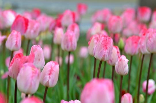 花回廊のチューリップ3977.jpg