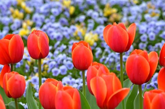 花回廊のチューリップ3988.jpg