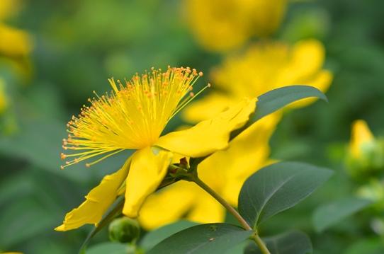 花回廊のヒペリカム2414.jpg