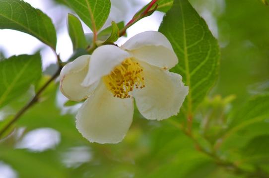 花回廊のヒメシャラ2443.jpg
