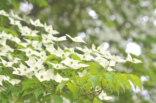花回廊のヤマボウシ2362.jpg