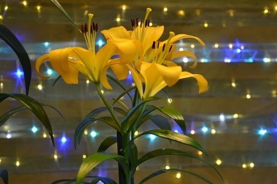 花回廊のユリ6868.jpg