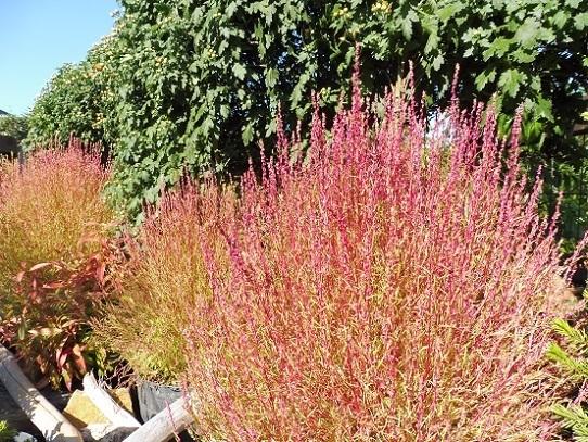 花回廊の秋の花1300418.jpg