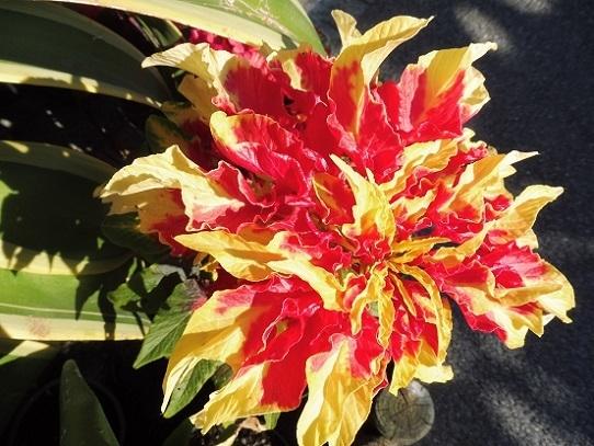 花回廊の秋の花1300420.jpg