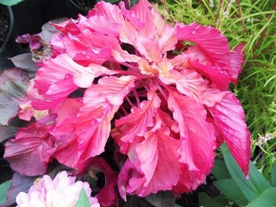 花回廊の秋の花1300425.jpg