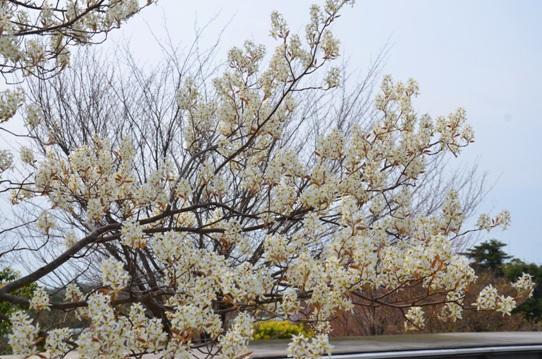 花回廊・アメリカザイフリボク0662.jpg