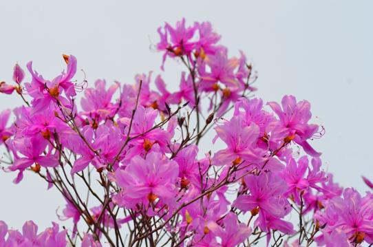 花回廊・トウゴクミツバツツジ0355.jpg
