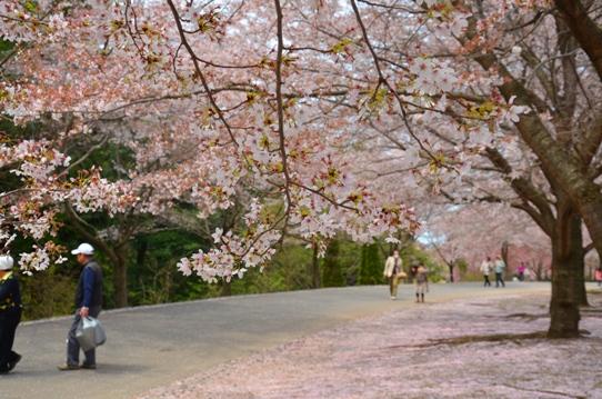 花回廊桜広場0466.jpg