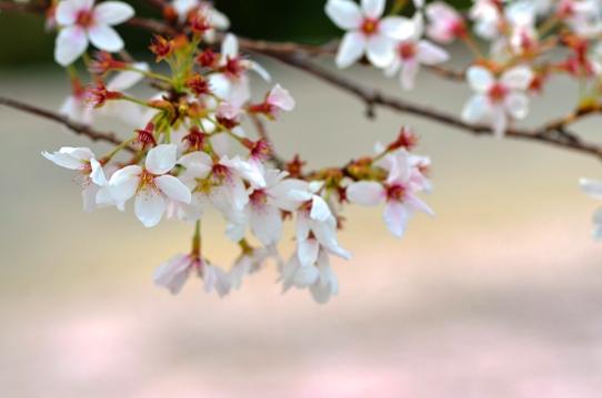 花回廊桜広場0482.jpg