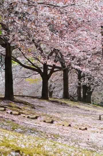 花回廊桜広場0580.jpg