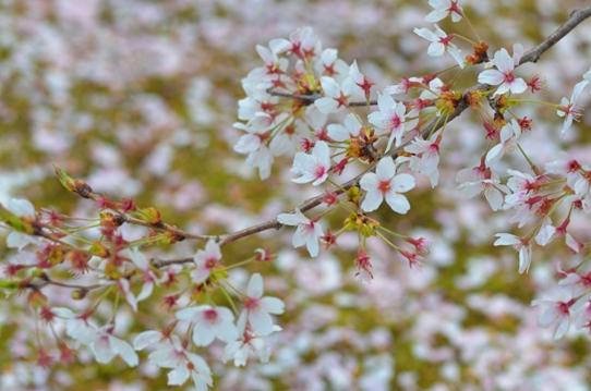 花回廊桜広場0600.jpg