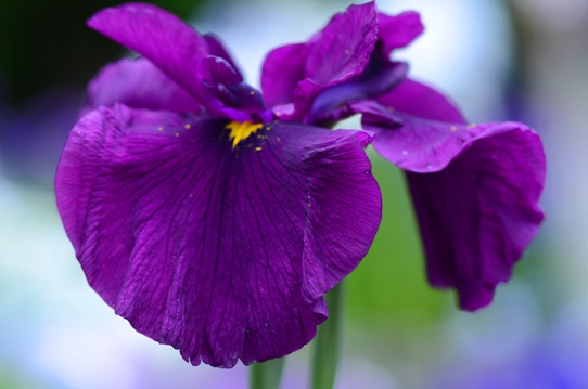 花菖蒲・古代紫2705.jpg