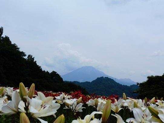 花風景・ゆり1270048.jpg