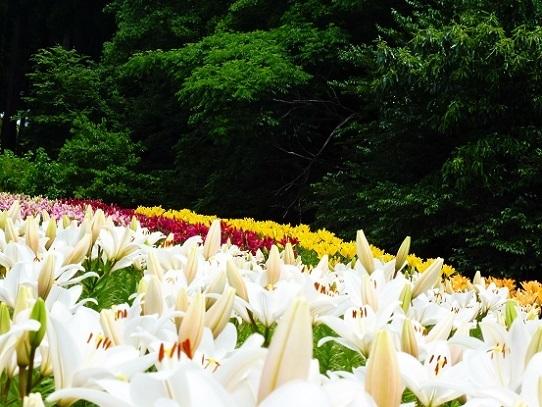 花風景・ゆり1270057.jpg