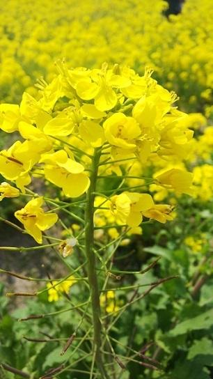菜の花0213.jpg