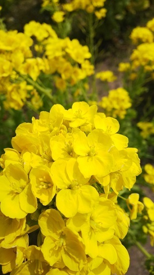 菜の花0215.jpg