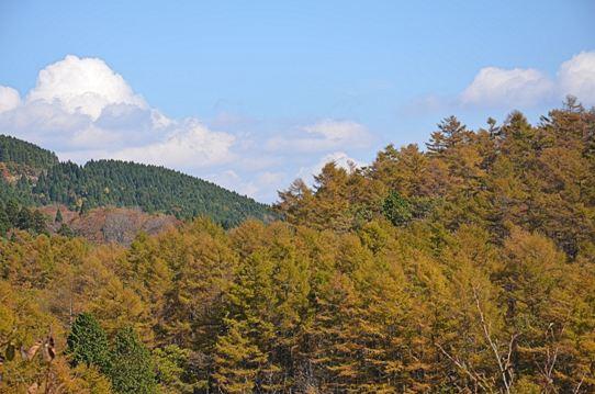 落葉松の黄葉4301.jpg