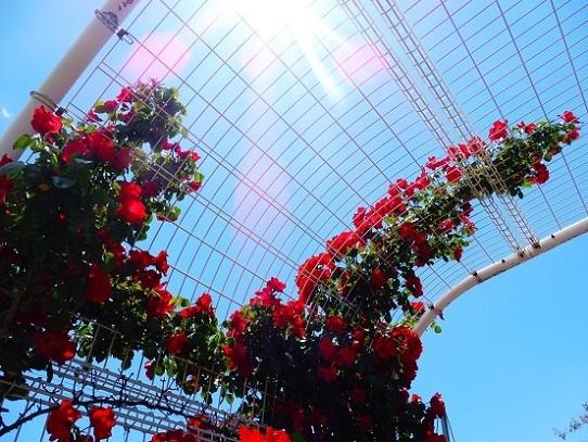薔薇と雲と青い空1250009.jpg