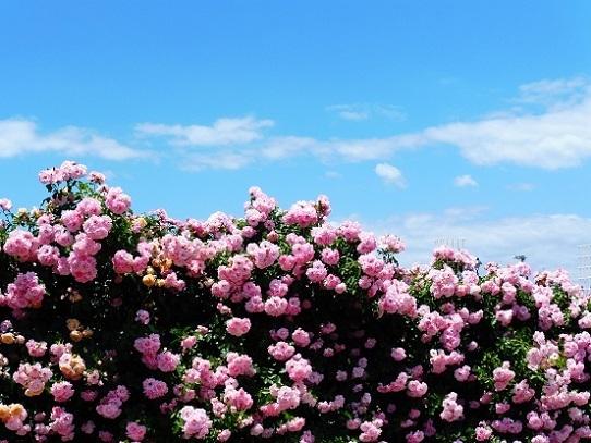 薔薇と雲と青い空1250025.jpg