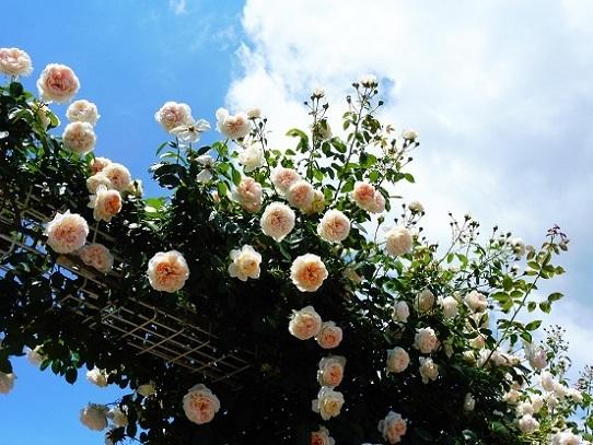 薔薇と雲と青い空1250029.jpg