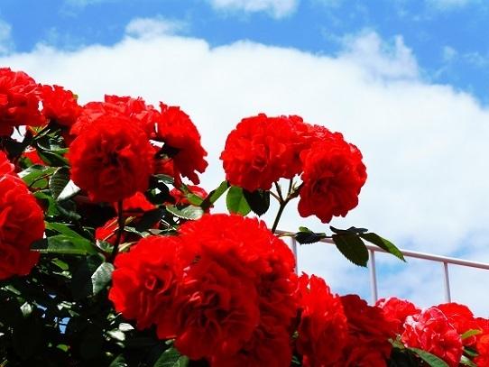 薔薇と雲と青い空1250051.jpg
