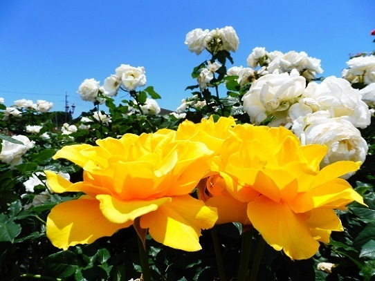薔薇と雲と青い空1250059.jpg