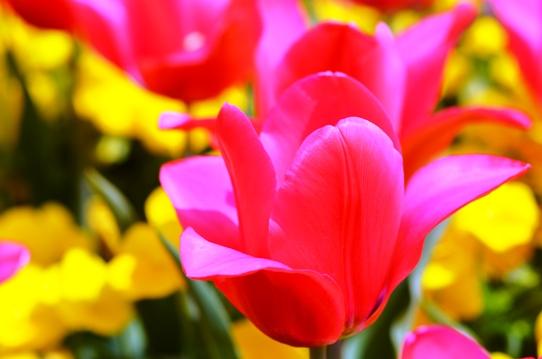 赤いチューリップ・明石海峡公園7088.jpg