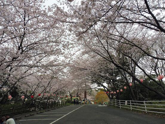 足高山の桜1020193.jpg