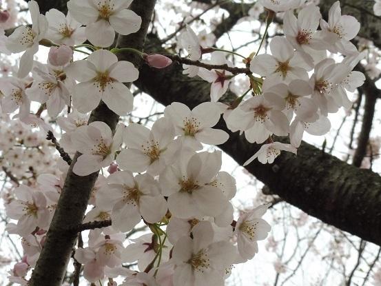 足高山の桜1020201.jpg