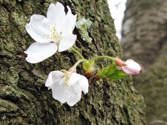 足高山の桜1020206.jpg