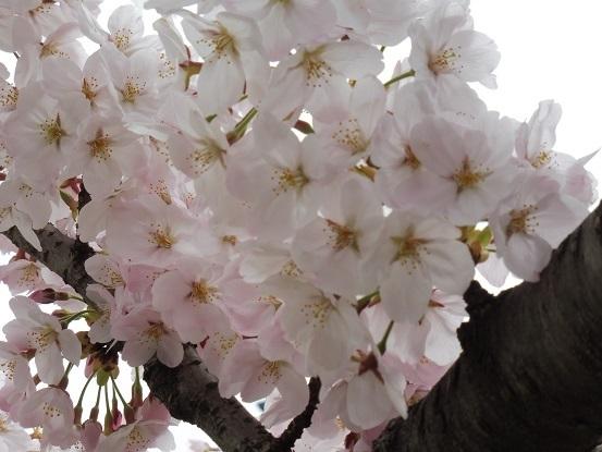 足高山の桜1020210.jpg